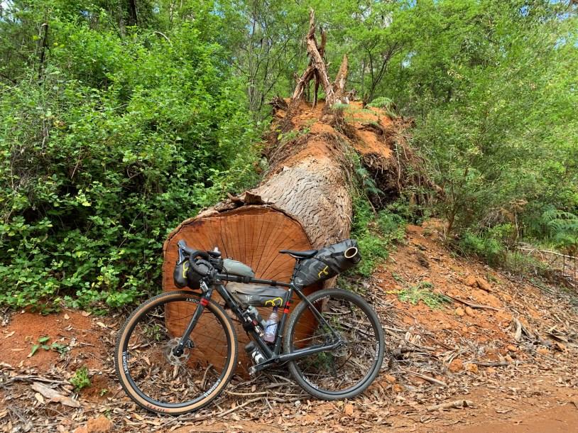 toppled over karri tree next to a bike