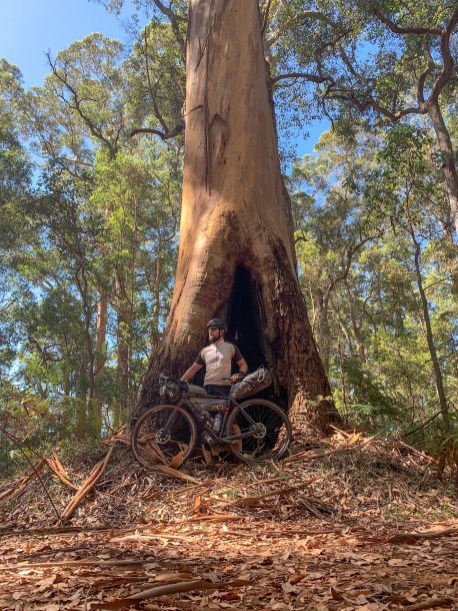 cyclist in front of the base of a karri tree