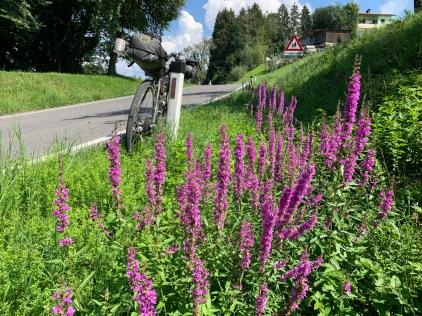 Purple bellflowers on the side of the road, on the first climb of the trip, shortly after departing from Dornbirn