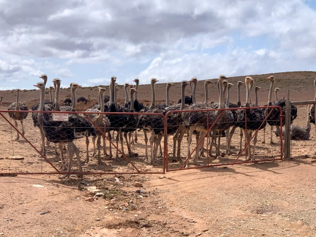 The area around Oudtshoorn being especially famous for Ostrich products