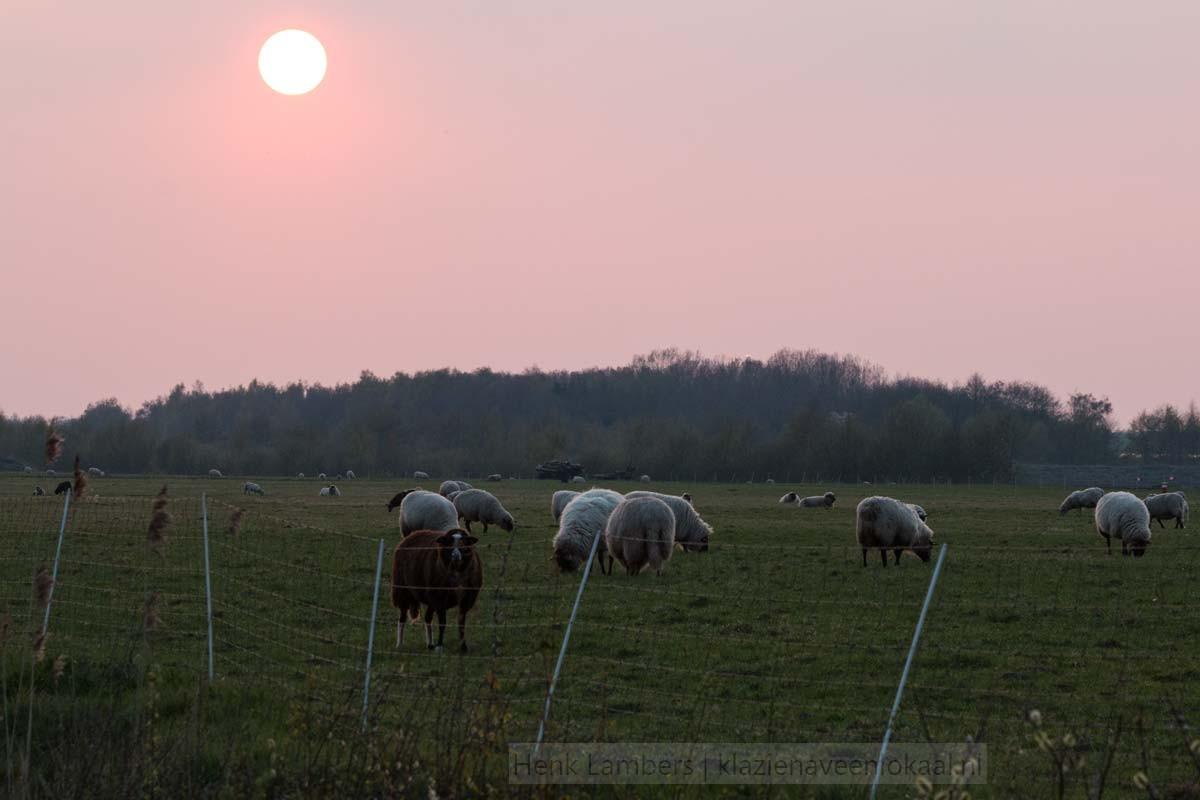 Bargerveen-schapen-2017