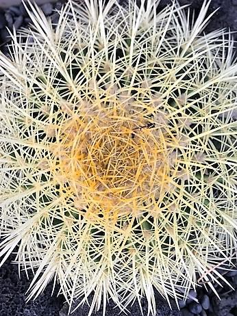 cactus CU