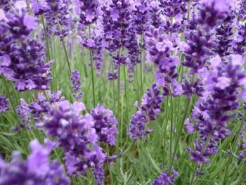 Lavendel fein