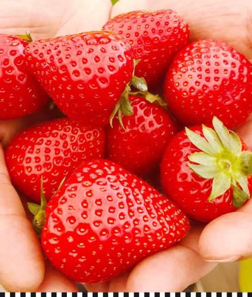 Eine Handvoll Glück: frische Erdbeeren