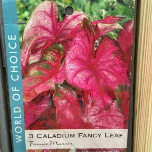 Caladium Fancy Leaf Fannie Munson