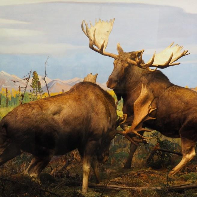 Elche im Naturkundemuseum
