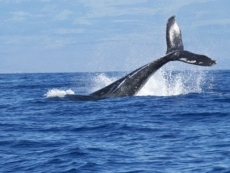 Symbolbild Wahlzeit - Schwanzflosse eines Wals ragt aus dem Wasser