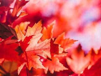 Rote Ahornblätter aus Kanada