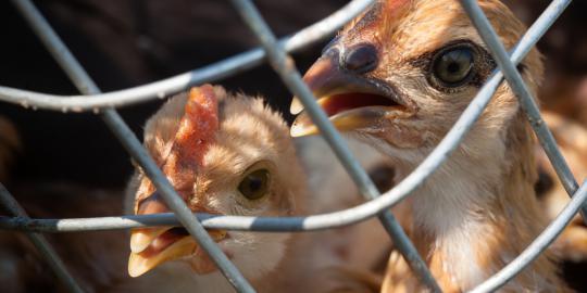 flu burung , burung , penyakit pada burung