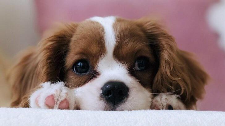 Köpeklerde Alerjik Atopik Dermatit