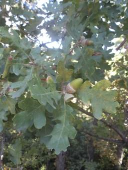 Ir Bulgarijoje auga ąžuolai.