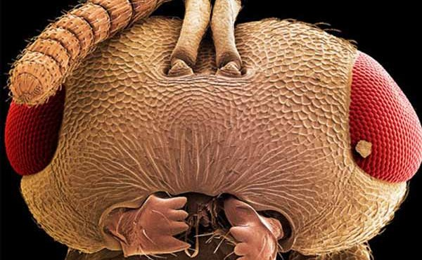 Top 10 fotografií hmyzu, pomocou elektrónového mikroskopu: Niektoré sú ako z hororu