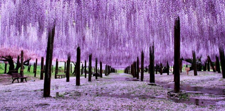 """Japonský """"Wisteria Festival"""" si zamiluje každý priaznivec jari a krásnych kvetov. Rastlinstvo je tam totiž úžasné"""