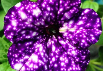 Neviete, čím potešiť svoju polovičku? Tieto kvety zaujmú každú ženu. Petúnie totiž v sebe skrývajú nádherné vzory galaxií