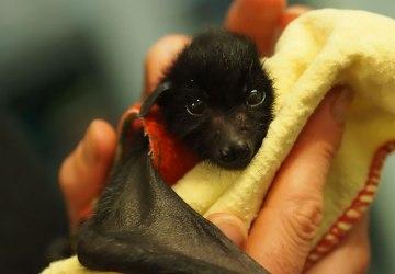 Najprv ježkovia teraz netopiere. Vedeli by ste si tohto nočného vtáka predstaviť ako svojho domáceho miláčika?