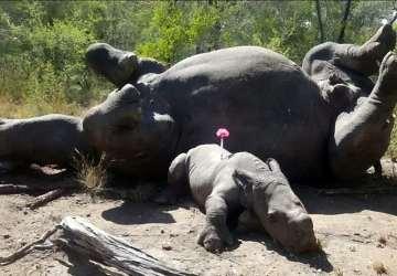 Chcel len ochrániť svoju mŕtvu matku, postrelili ho! Príbeh mladého nosorožca vás chytí za srdce!