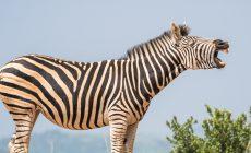 Pozrite si video zebry, ktorá behala po nitrianskom sídlisku