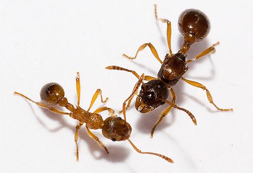 Сколько лап у муравья. Конечности как идентификационный признак или сколько ног у муравья