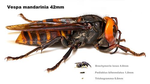 Гигантский азиатский шершень: описание с фото. Самый большой шмель в мире
