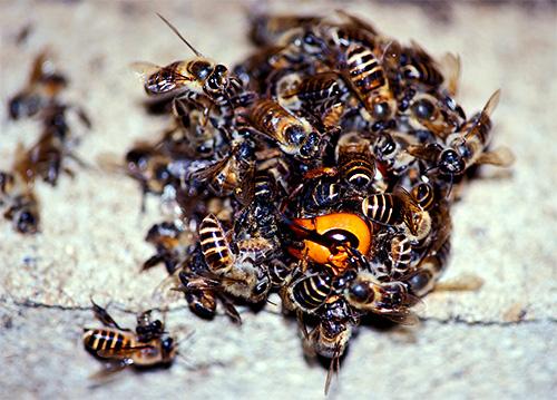 albine înțepă penisul