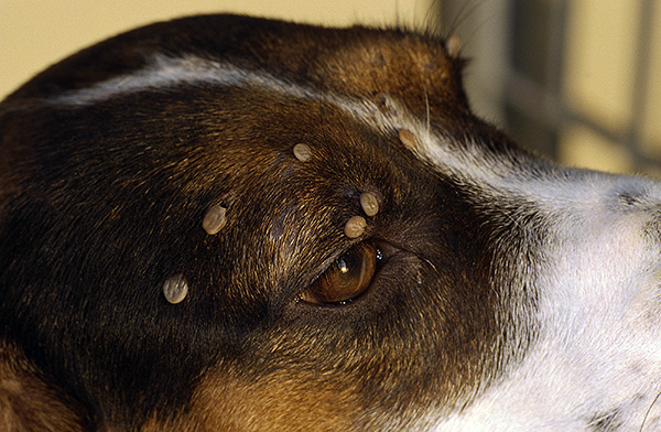 Клещевой энцефалит у кошек Говорим о симптомах и лечении