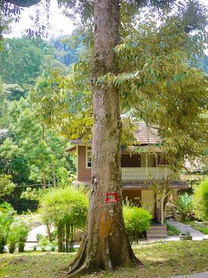 ドリアンの木, durian tree