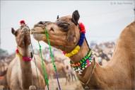 Camel pair 01