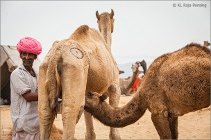 milking the camel