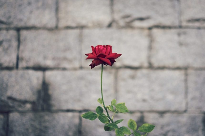 Bordowe róże wystarczą