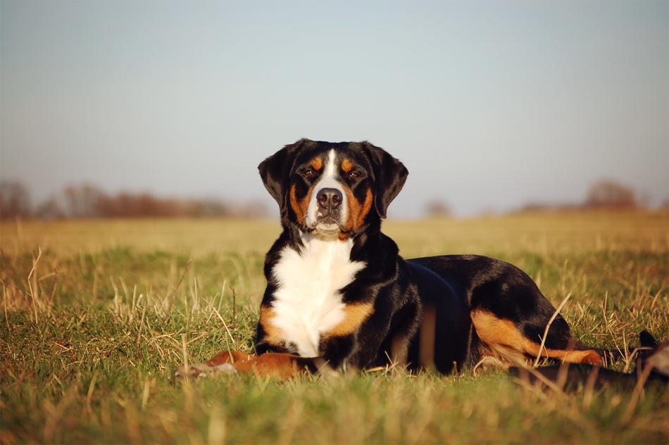 conni-klueter-grosser-schweizer-sennenhund2