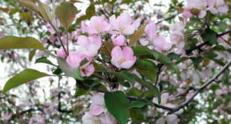 Яблони цветут в мае. Цветение яблони: причины отсутствия и способы его добиться