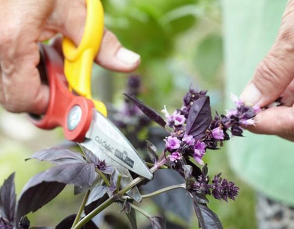Базилик  ароматная пряность на вашем огороде