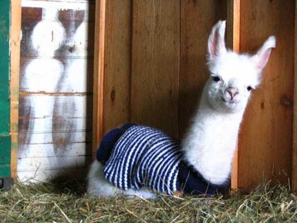 animals in sweaters 17 Adorable Animals Wearing Sweaters (35 photos)