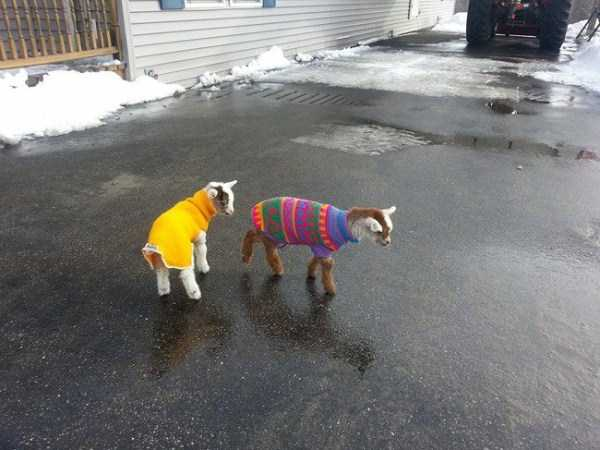 animals in sweaters 8 Adorable Animals Wearing Sweaters (35 photos)