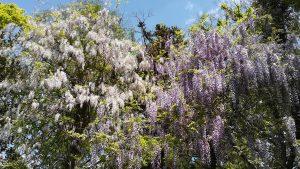 藤 萬葉植物園