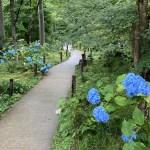 三千院 紫陽花