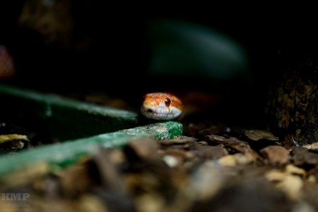 Kornnatter (Pantherophis guttatus)
