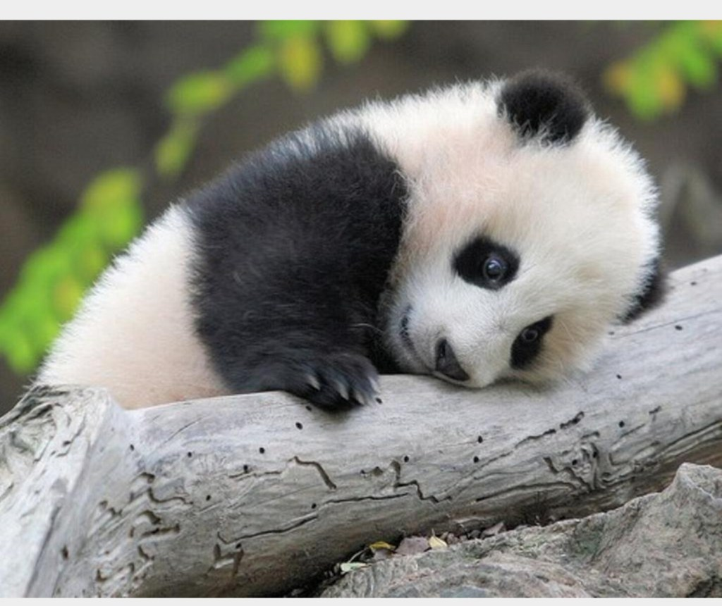 Tired Panda Reviews the Poll!