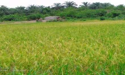 Bong County Agriculture Group – 'Feed Liberia' Wants Gov't, Others Support