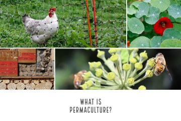 What is permaculture: Photos of a chicken in a mobile run, edible flowers, bees on a flowering edible plant and an insect hotel are combined in one image to symbolise how all those things can be combined to produce a productive and resilient agricultural system