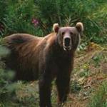 kodiak_brown_bear_usfw.jpg