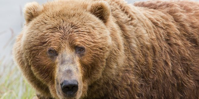 Deer Hunters May be Seeing More Bears This Year