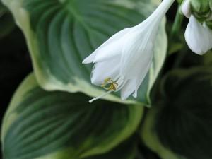 flower-diana1