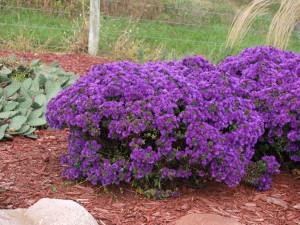 'Purple Dome' Aster