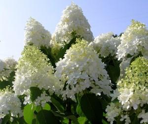 Limelight Tree Hydrangea