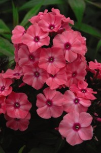First Editions Coral Creme Drop Phlox