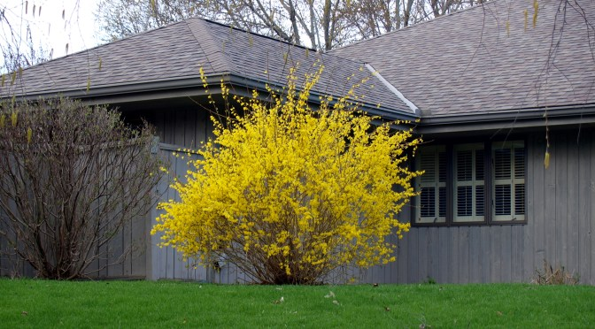 Image of Forsythia in bloom.