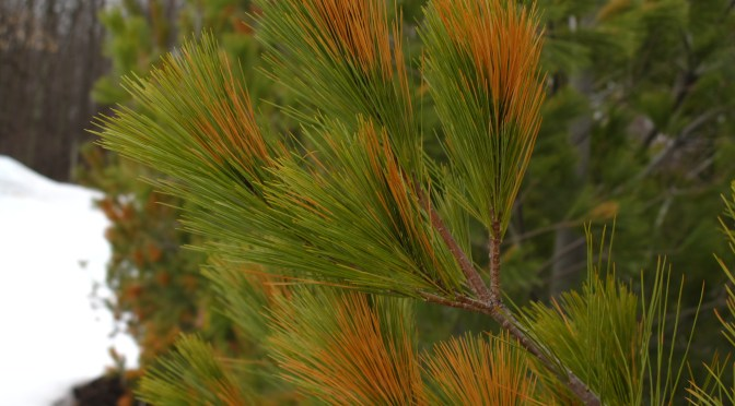 Winterburn on Evergreens