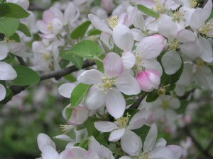Leif's Favorite Mid to Late Spring Flowering Trees & Shrubs