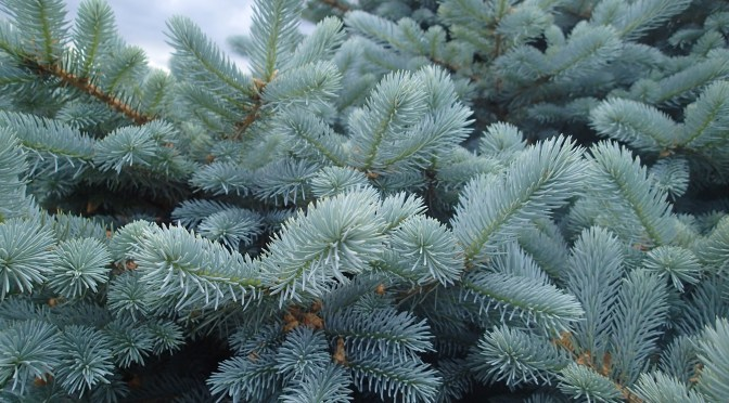 Tips to Keep Spruce Trees Healthy & Beautiful